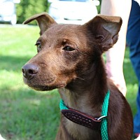 Adopt A Pet :: Amina - Harrisonburg, VA