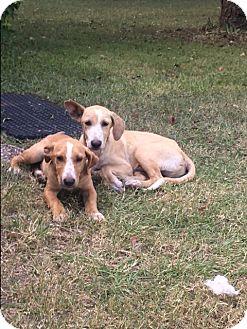 Labrador Retriever/Hound (Unknown Type) Mix Puppy for adoption in Raleigh, Texas - A - Clinton & Donald