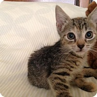 Abyssinian Kitten for adoption in Ephrata, Pennsylvania - Audrey