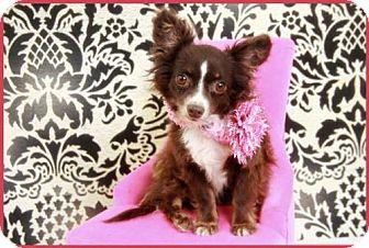 Pomeranian/Dachshund Mix Dog for adoption in Dallas, Texas - Muffin