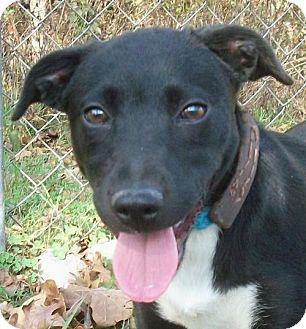 Labrador Retriever/Terrier (Unknown Type, Medium) Mix Puppy for adoption in Wakefield, Rhode Island - Josie Stocking