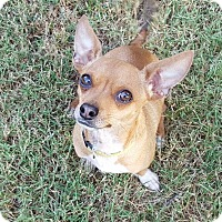 Chihuahua Mix Dog for adoption in Plainfield, Connecticut - Ernie (200 adoption fee)
