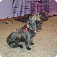 Shih Tzu/Yorkie, Yorkshire Terrier Mix Puppy for adoption in Tenafly, New Jersey - Toto/Mowdy