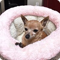 Adopt A Pet :: Izzy is tiny! - Redondo Beach, CA
