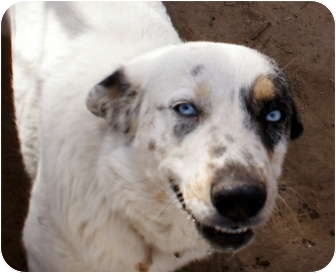 Australian Shepherd Mix Dog for adoption in Glenpool, Oklahoma - Skye