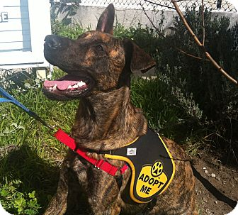 Dutch Shepherd/Shepherd (Unknown Type) Mix Dog for adoption in Santa Monica, California - Samson