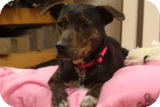 Plott Hound/Greyhound Mix Dog for adoption in Homewood, Alabama - Bryleigh