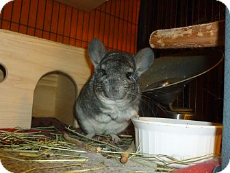 Chinchilla for adoption in Jacksonville, Florida - Champagne