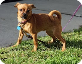 Chihuahua/Dachshund Mix Puppy for adoption in Tinton Falls, New Jersey - Tater