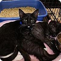Domestic Shorthair Kitten for adoption in Miami, Florida - Happy