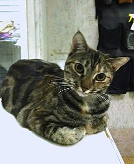 Domestic Shorthair Cat for adoption in St. James City, Florida - Cinnamon
