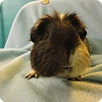 Adopt A Pet :: Dewey (Neutered) - Coral Springs, FL