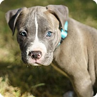 Adopt A Pet :: Silver - Austin, TX