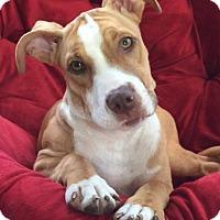 Adopt A Pet :: Tillie - West Allis, WI