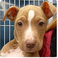 Adopt A Pet :: Stella - Springdale, AR