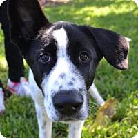 Adopt A Pet :: Beethoven - Miami, FL