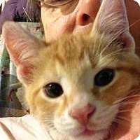 Adopt A Pet :: Toby - LAP KITTEN - Franklin, WV