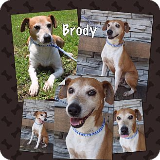 Feist/Shepherd (Unknown Type) Mix Dog for adoption in Bluemont, Virginia - BRODY