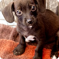 Adopt A Pet :: Oreo - Marina del Rey, CA