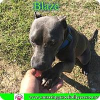 American Pit Bull Terrier Dog for adoption in Pensacola, Florida - Blaze