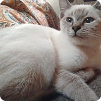 Siamese Kitten for adoption in Springfield, Oregon - Poppy
