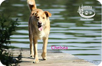 Shepherd (Unknown Type)/Labrador Retriever Mix Dog for adoption in Huntsville, Ontario - Chelsea - Adopted January 2017