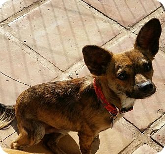 Terrier (Unknown Type, Small)/Chihuahua Mix Dog for adoption in Chandler, Arizona - Grant