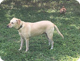 Labrador Retriever Mix Dog for adoption in Boerne, Texas - Callie