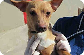 Chihuahua Mix Dog for adoption in Litchfield Park, Arizona - Smalls - Only $75 adoption!!!