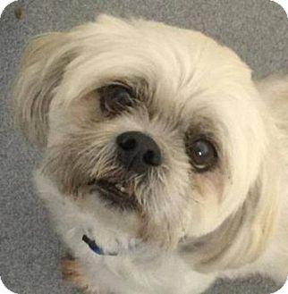 Lhasa Apso Dog for adoption in Stuart, Virginia - Dingo