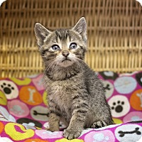 Domestic Shorthair Kitten for adoption in Sterling, Kansas - Mr. Big