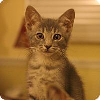 Domestic Shorthair Kitten for adoption in Carlisle, Pennsylvania - Parker