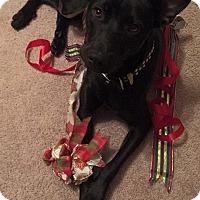 Adopt A Pet :: Batman - Charleston, SC