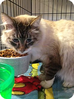 Siamese Cat for adoption in Wenatchee, Washington - Connie