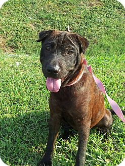 Shar Pei Mix Dog for adoption in Houston, Texas - Lana