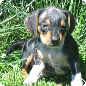 Beagle Mix Puppy for adoption in Novi, Michigan - Baldy