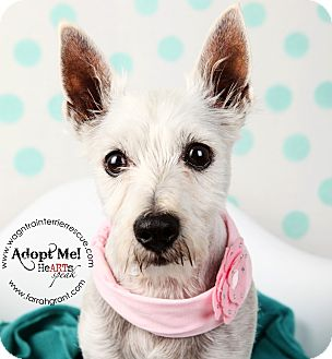 Westie, West Highland White Terrier Dog for adoption in Omaha, Nebraska - Lucy