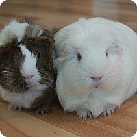 Adopt A Pet :: Ollie & Snowy - Brooklyn Park, MN