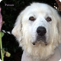 Adopt A Pet :: Paxton - Lee, MA