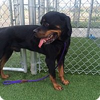 Adopt A Pet :: Slinky Dog - Gilbert, AZ