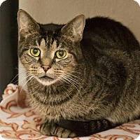 Domestic Shorthair Cat for adoption in Alden, Iowa - Little Mister