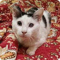 Domestic Mediumhair Cat for adoption in Cat Spring, Texas - Shy Boy