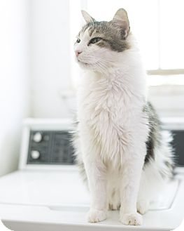 Domestic Longhair Cat for adoption in Houston, Texas - TAZZY