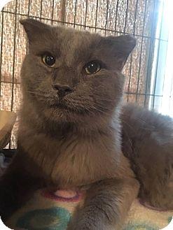 Maine Coon Cat for adoption in Vass, North Carolina - Alvin