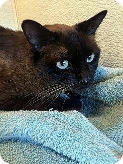 Burmese Cat for adoption in North Las Vegas, Nevada - Coco