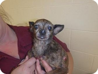 Chihuahua Mix Dog for adoption in Apple Valley, California - Shelby #157008