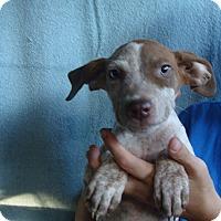 Adopt A Pet :: Tycoon - Oviedo, FL