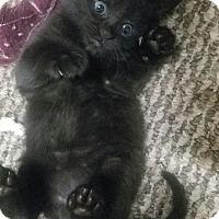 Bombay Kitten for adoption in Taylor Mill, Kentucky - Smoochum-Born August 2016