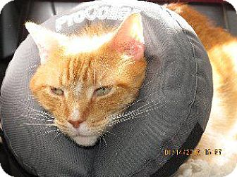 Domestic Shorthair Cat for adoption in Queenstown, Maryland - Odie