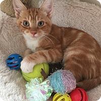 Adopt A Pet :: Garfield- NOT QUITE A FAT CAT! - Plano, TX